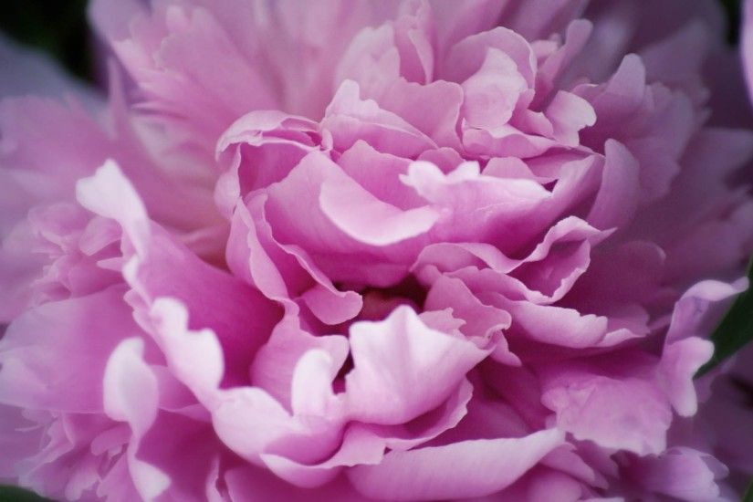 Preview wallpaper peony, flowers, plant 2560x1440