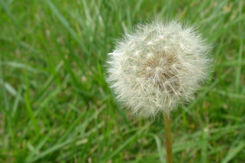 Image: Dandelion wallpapers and stock photos. Â«