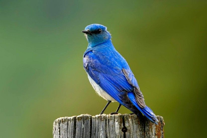 free Bluebird wallpaper wallpapers download