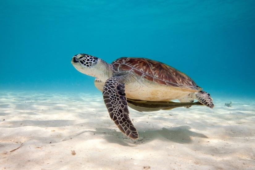 Baby Sea Turtle Wallpapers Desktop Background Awesome Wallpapers .