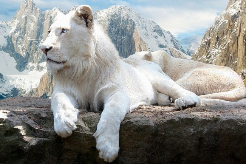 HD Wallpaper | Background Image ID:509802. 1920x1080 Animal White Lion