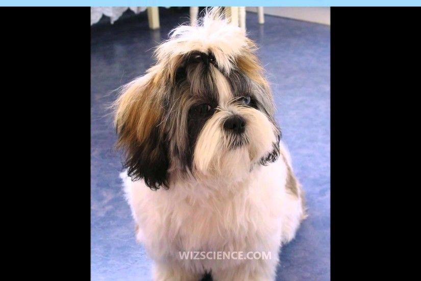 Shih Tzu - Video Learning - WizScience.com