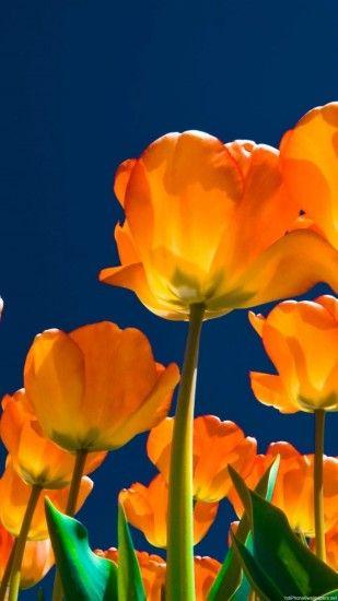 Tulips Wallpaper ·① WallpaperTag