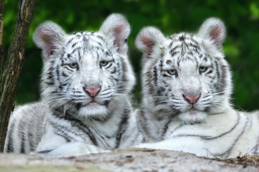 baby white tiger wallpaper which is under the tiger wallpapers .
