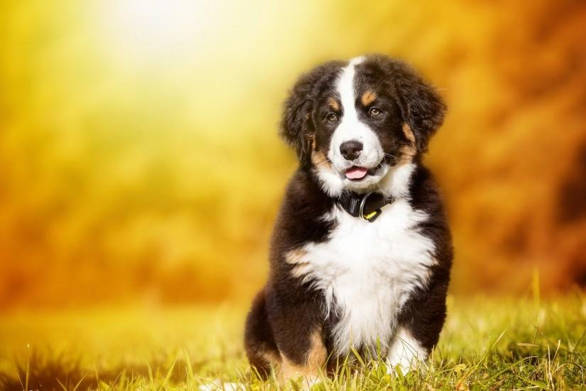 Background bernese mountain dog