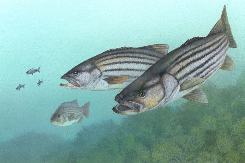 Graphics For Striped Bass Wallpaper Free Graphics | www .