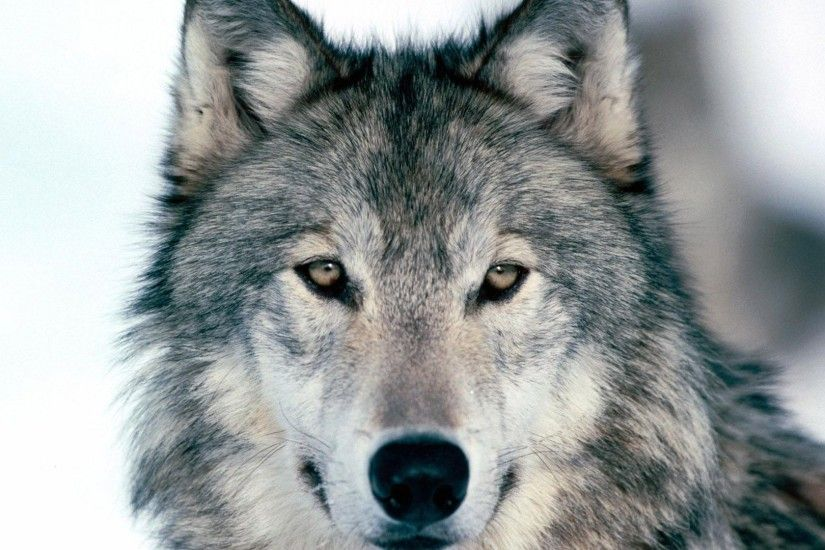 Preview wallpaper wolf, winter, snow, face, eyes, predator 1920x1080
