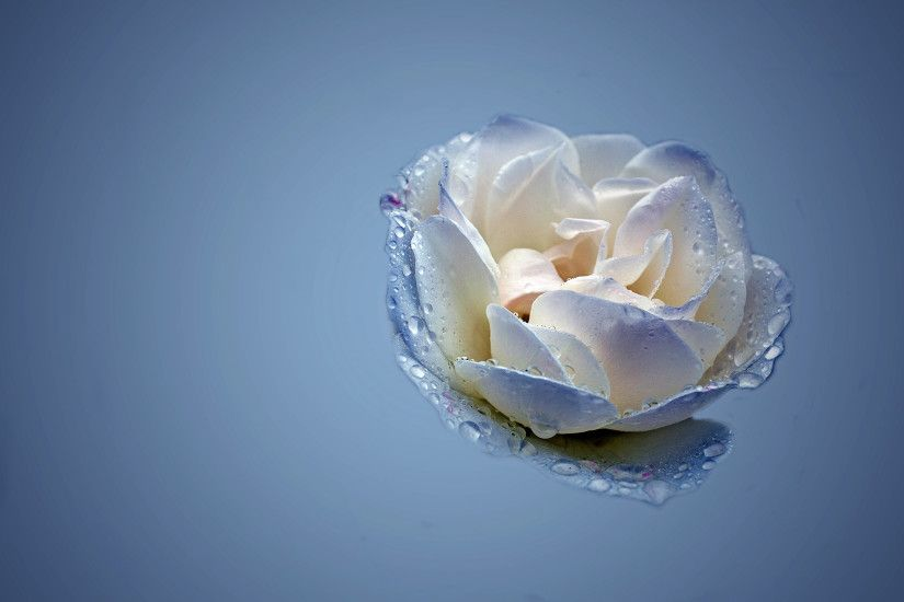 Blue And White Rose