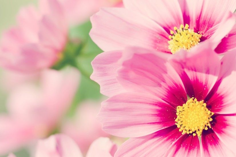 Pink Flower Wallpaper Picture