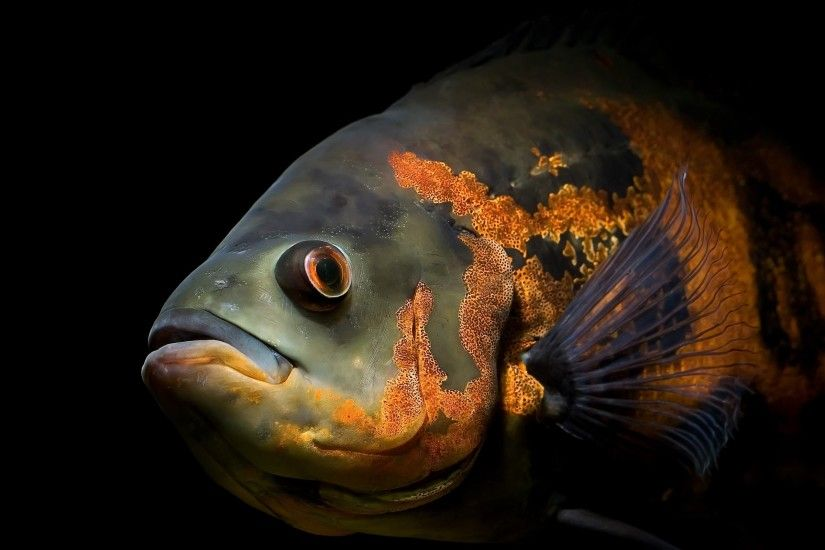 Red black Oscar Fish Wallpapers | Pictures