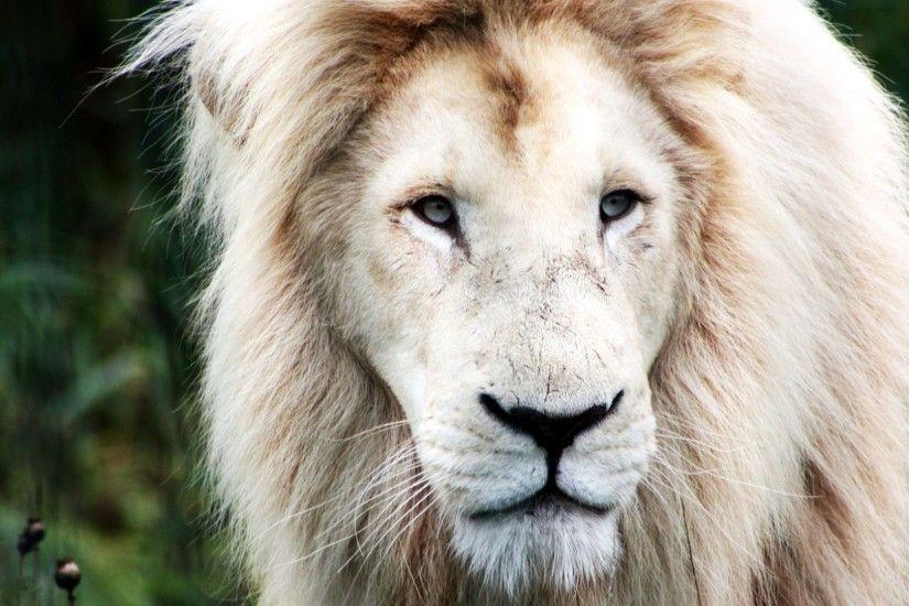 Angry Lion Eyes Wallpaper Wallpapertag