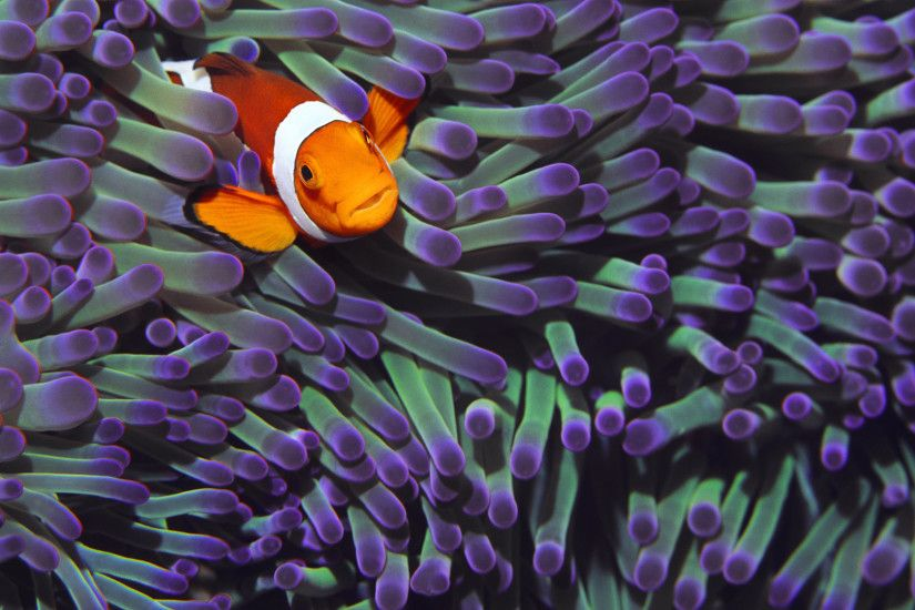 Animal - Clownfish Wallpaper