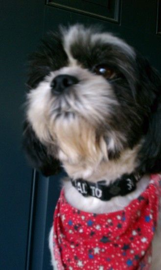 Shih Tzu images Roxy HD wallpaper and background photos
