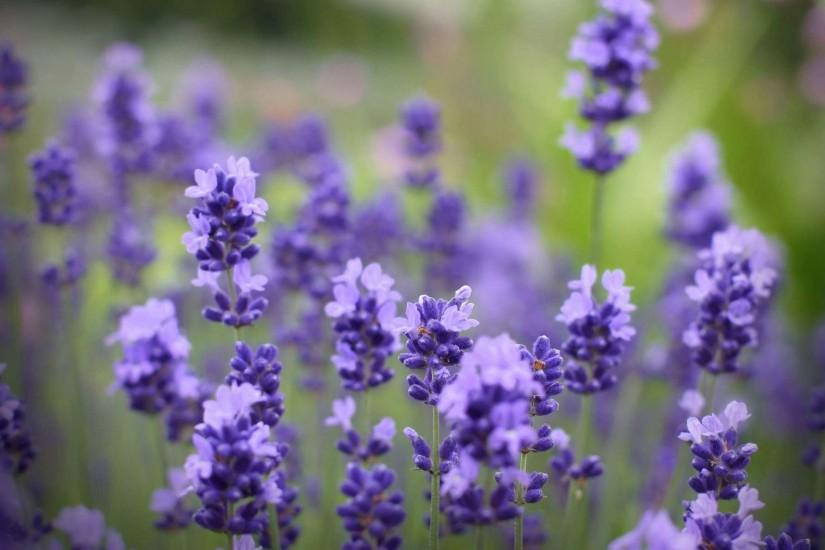 free lavender background 1920x1200 for android tablet