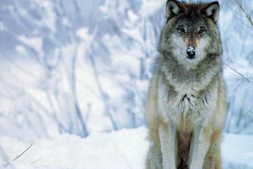 amazing wolf background 1920x1080 for full hd