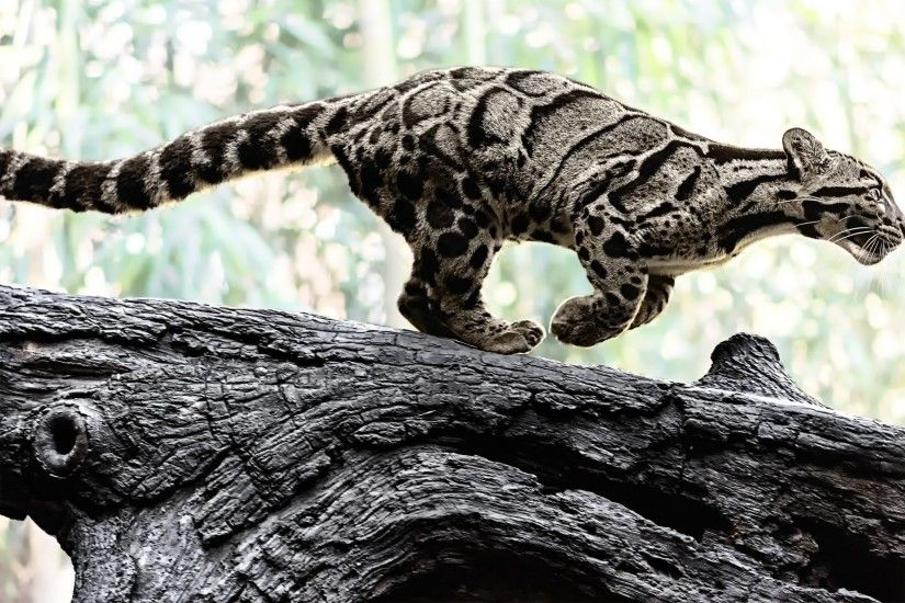 Best Images Of Clouded Leopard Clouded Leopard 4K ...