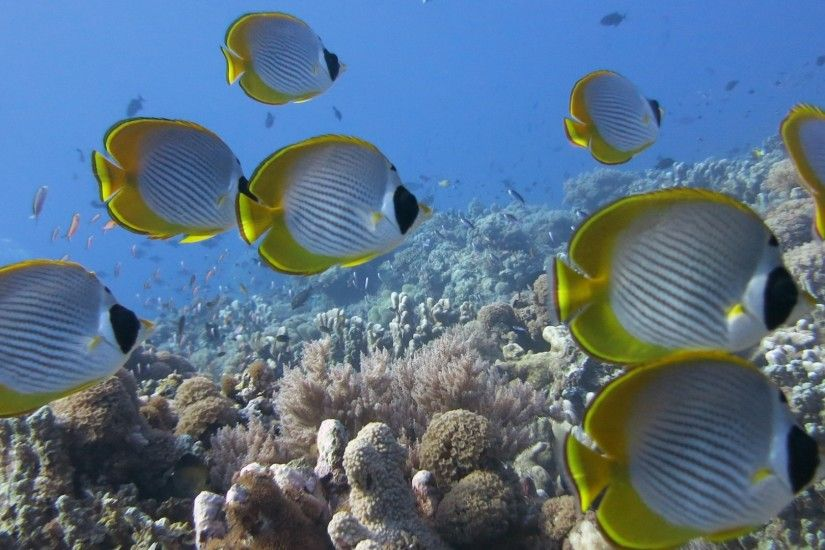 Preview wallpaper underwater, fish, butterflyfish panda, coral, reef  2560x1080