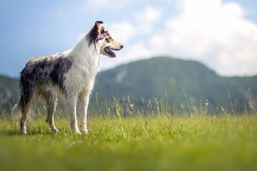 Picture Border Collie Dogs Mountains Grass Animals