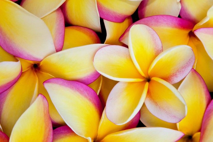 Earth - Frangipani Earth Flower Plumeria Wallpaper