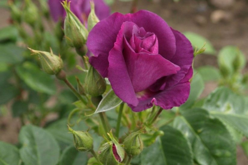 Nature Roses Purple Rose Flowers Hd Wallpapers 1080p Free Download