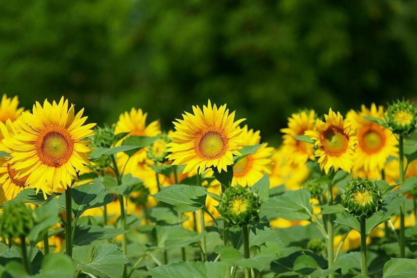 download free sunflower background 2560x1600 iphone
