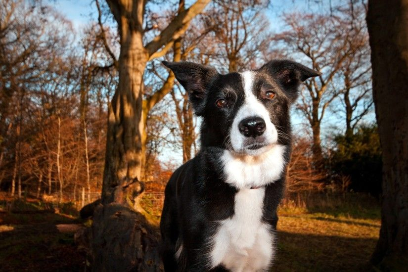 Border Collie Wallpapers HD Download
