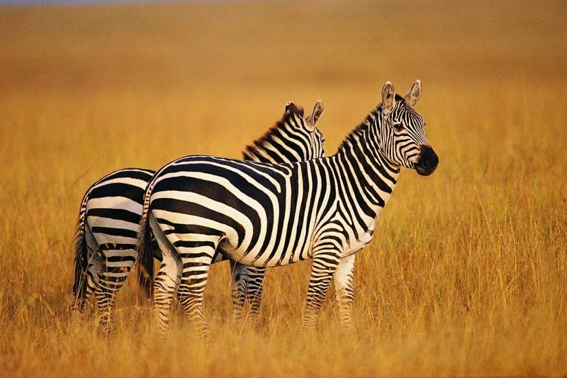 zebra backgrounds for widescreen free