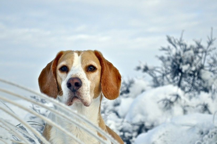 Get the latest dog, puppy, beagle news, pictures and videos and learn all  about dog, puppy, beagle from wallpapers4u.org, your wallpaper news source.