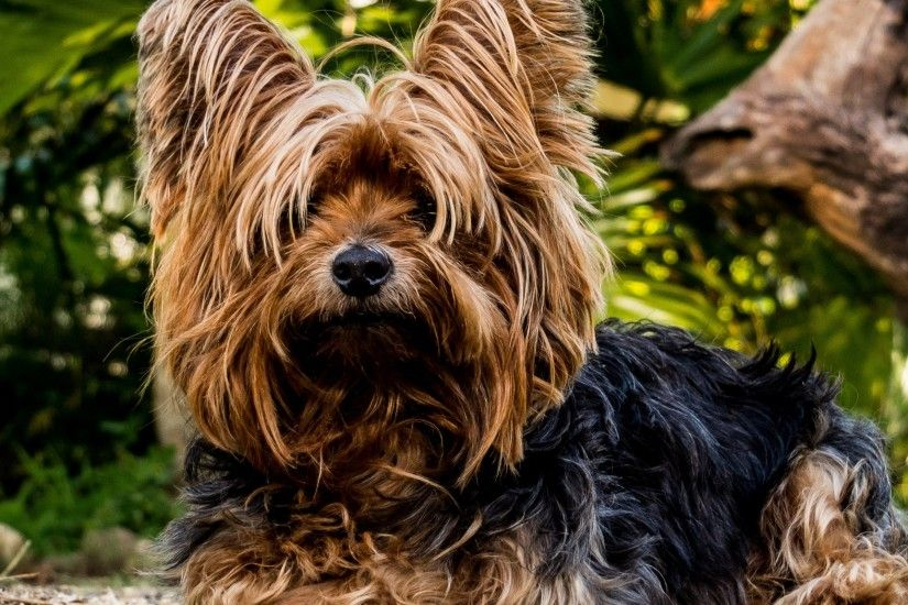 4K HD Wallpaper: Yorkshire Terrier
